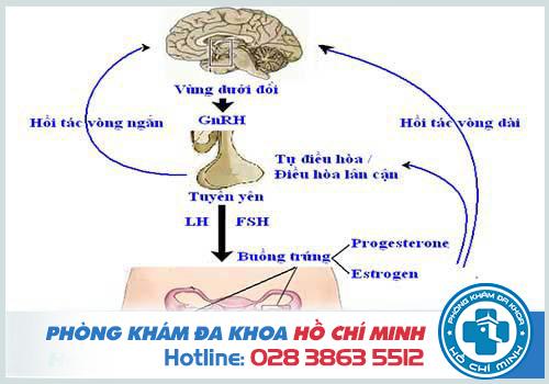 Quá trình điều hòa estrogen ở nữ